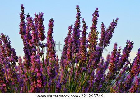 Lavender flowers. Bunch of scented flowers in the lavanda fields of the French Provence at sunset. Berger des Abeilles - stock photo