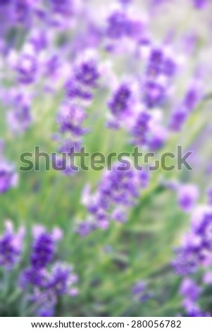 Lavender flowers can use as background. In blur style - stock photo