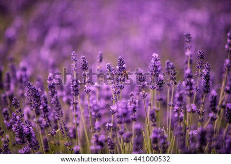 Lavender flowers closeup.