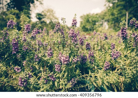 Lavender Flowers Field beautiful and fleshing. - stock photo
