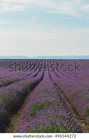 Lavender flowers field endless rows, Provence, France
