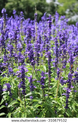 lavender flowers Fields - stock photo