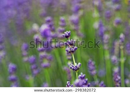 Lavender Flowers in a Danish kitchen garden - stock photo
