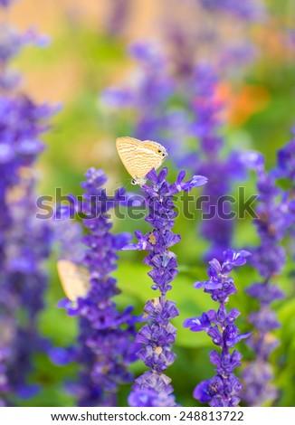 lavender flowers in garden. - stock photo