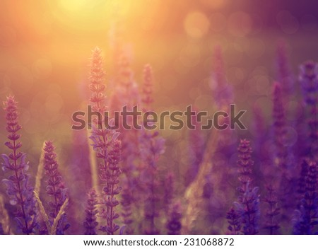 Lavender flowers in sunset - stock photo