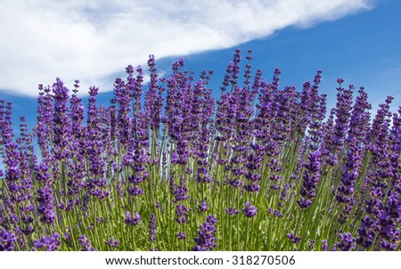 lavender flowers in the field - stock photo