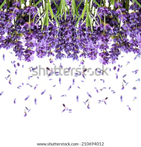 lavender flowers isolated on white. fresh blossoms. floral background - stock photo