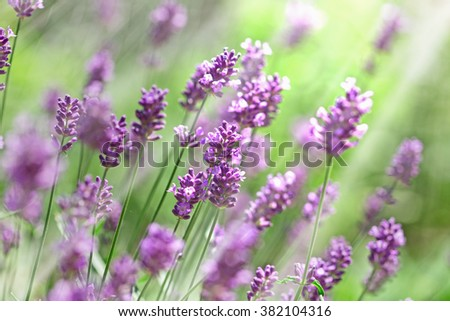 Lavender flowers lit by sunbeams - sun rays - stock photo