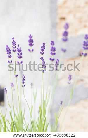 Lavender flowers on the background bricks. - stock photo