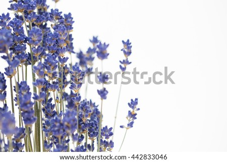 lavender flowers on the white background. - stock photo