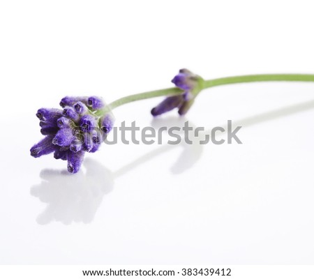 Lavender flowers on white background - stock photo