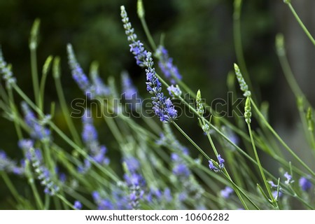 Lavender flowers show their colors. - stock photo