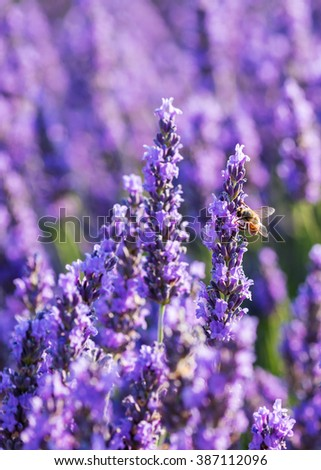 Lavender flowers with a bee, close-up, vertical shot. Valensole, Provence, France - stock photo