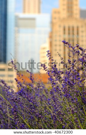 Lavender growing in a Chicago park against a backdrop of downtown skyscrapers - stock photo