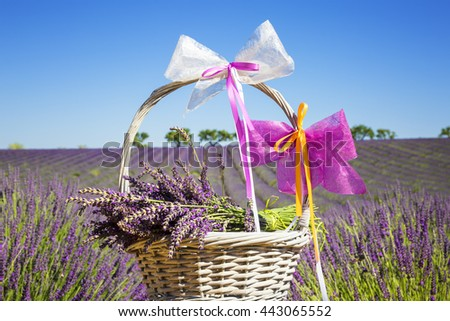 lavender in a basket with lavender field in the background - stock photo