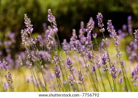 Lavender in a field - stock photo
