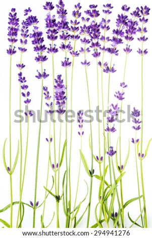 lavender in a row