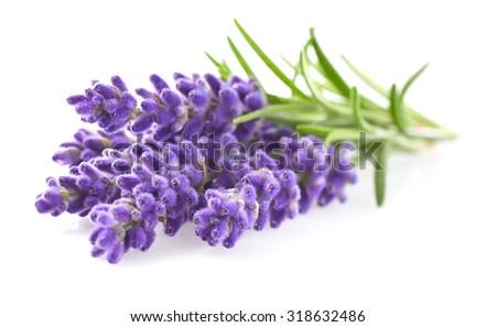 Lavender in closeup - stock photo