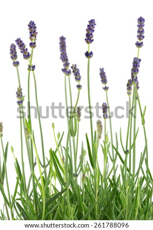 Lavender isolated on white background  - stock photo