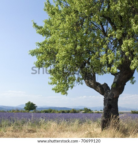 Lavender landscape with tree. - stock photo