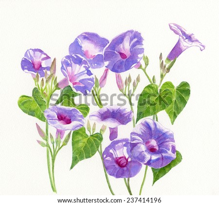 Lavender Morning Glory Flowers .  Watercolor illustration of lavender, blue, violet morning glories with buds and leaves with a white background. - stock photo