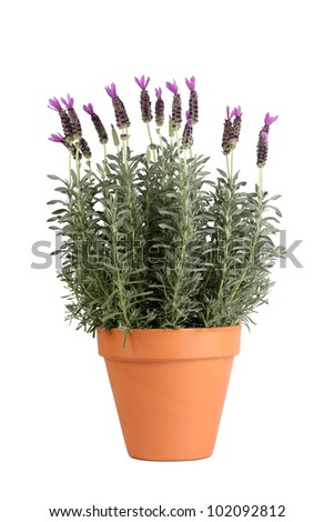 Lavender plant in pottery pot - stock photo
