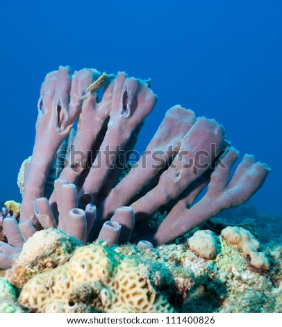 Lavender Purple colored Colonial Tube Sponge on a coral reef in the Red Sea - stock photo