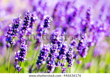 lavender purple field of flowers closeup. concept background. Provence
