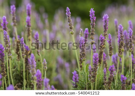 Lavender purple flowers growing.