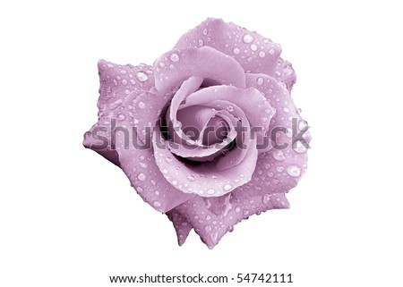 Lavender Rose Flower with Rain Drops Isolated on White - stock photo