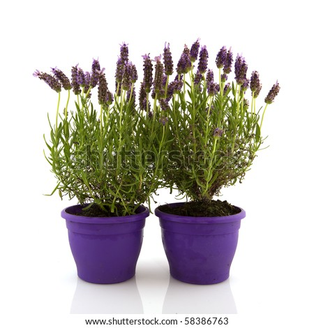 Lavender in pot stock photos images pictures shutterstock - Growing lavender pot ...