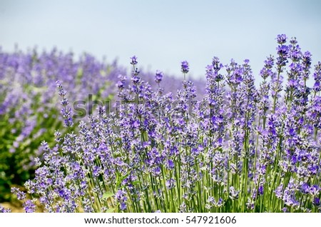 Lavender Summer Field In Sunny Day