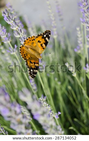 Lavender with orange butterfly - stock photo
