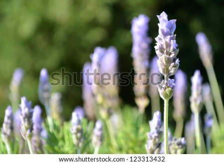 Lavender with shallow depth of field - stock photo