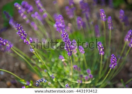 Lavenders close-up in summer