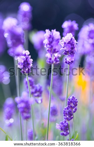 Lavenders with drops - stock photo