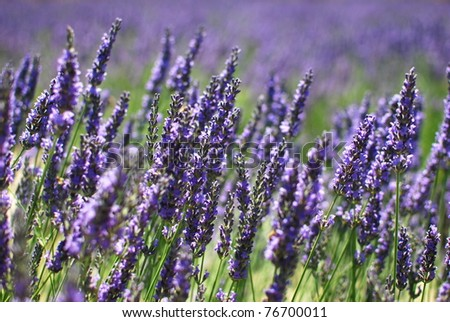 Lavendula - Impressions of the Provence