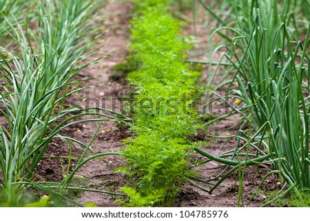 Lawn cultivated with onions and carrots - stock photo