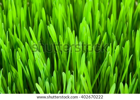 Lawn grass close up