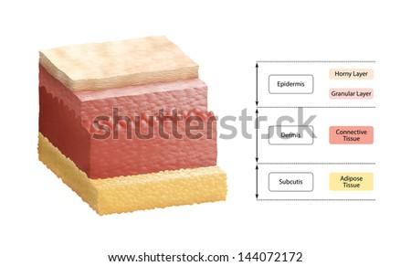 Layers Of Human Skin - stock photo