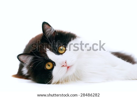 laying cat isolated on white background - stock photo