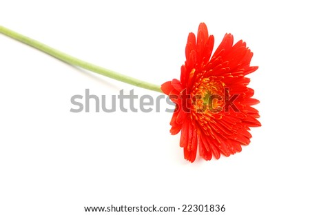 laying down a red daisy