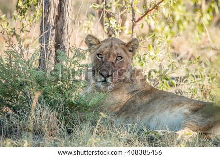 Laying Lioness with a dirty face in the Kruger National Park, South Africa.