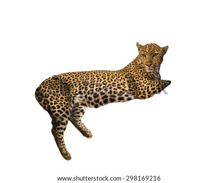 Laying male leopard isolated on white background.