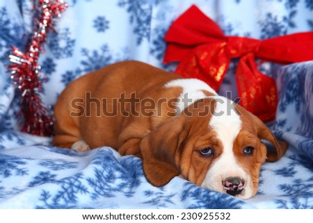 Lazy and tired Beagle and English Bulldog crossbreed puppy lying on blue snowflake printed blanket with big red Christmas bow. - stock photo