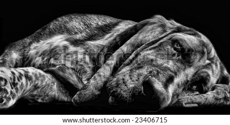 Lazy Basset Hound - stock photo