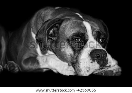 Lazy Boxer Dog - stock photo