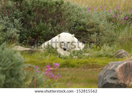 Lazy Canadian Polar Bear wallowing and sleeping in the the Arctic tundra of the Hudson Bay near Churchill, Manitoba in summer - stock photo