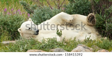 Lazy Canadian Polar Bear wallowing, stretching and sleeping in the the Arctic tundra of the Hudson Bay near Churchill, Manitoba in summer - stock photo