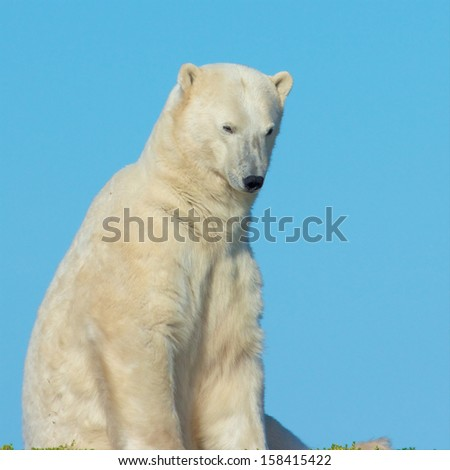 Lazy Canadian Polar Bear wallowing, stretching and sleeping on a grass patch in the arctic tundra of the Hudson Bay near Churchill, Manitoba in summer - stock photo